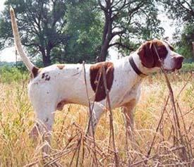 狩猟犬のポインター