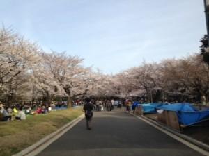 嵐と桜満開の中お散歩